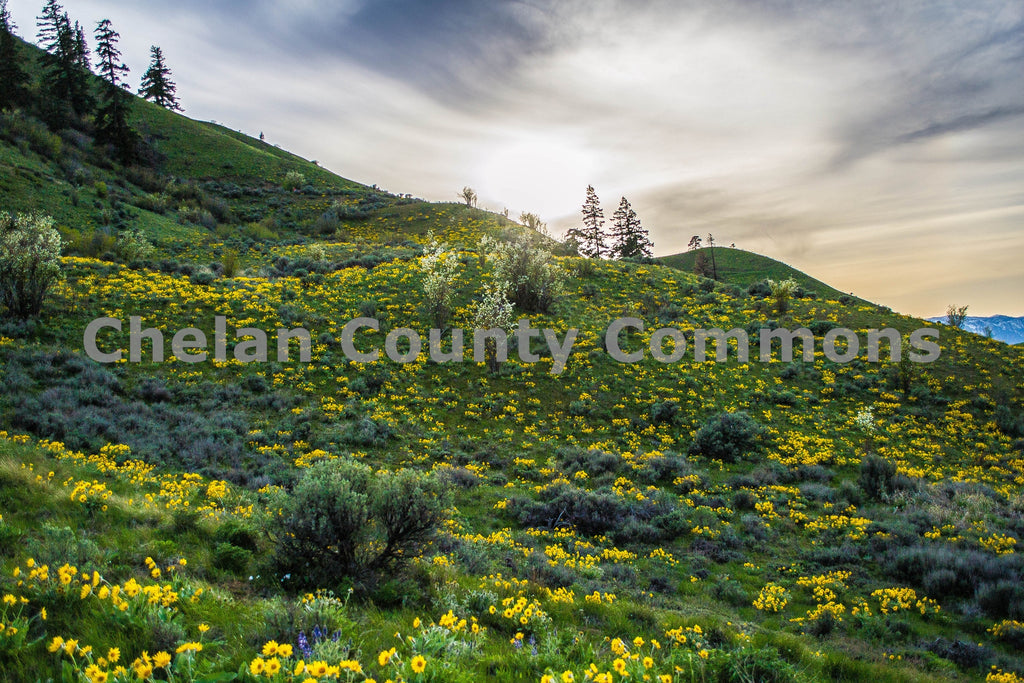 Wild Flower Hillside , JPG Image Download - Brian Mitchell, Chelan County Commons