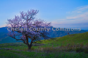 Lone Blossom Tree , JPG Image Download - Brian Mitchell, Chelan County Commons