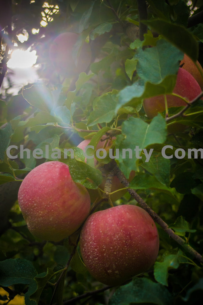 Wenatchee Apples , JPG Image Download - Randy Dawson, Chelan County Commons
