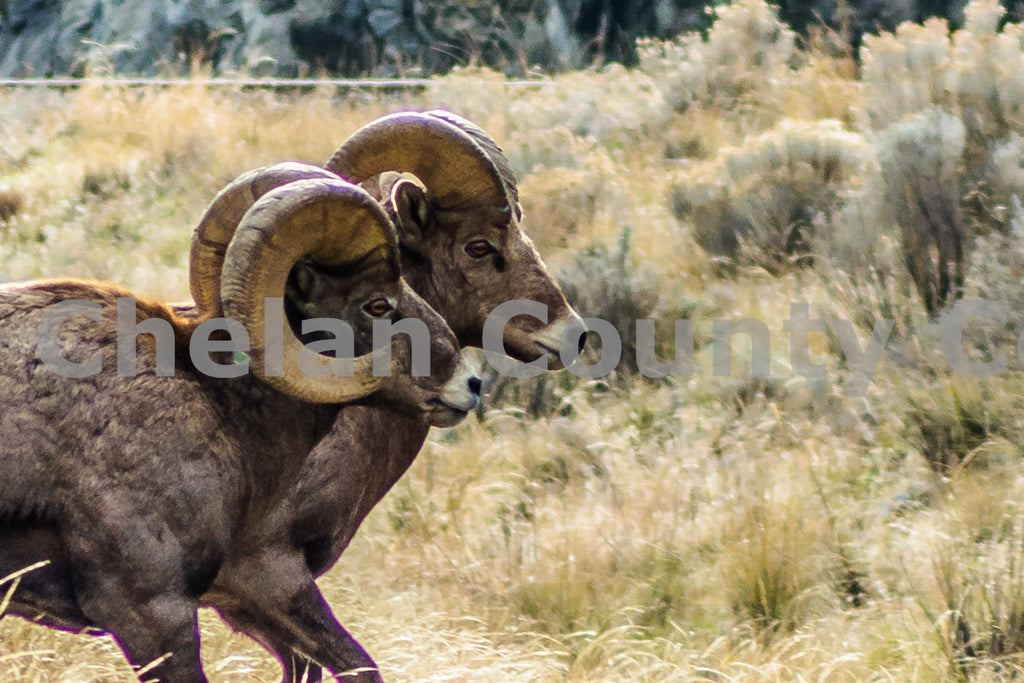 Two Mountain Sheep , JPG Image Download - Rob Spradlin, Chelan County Commons