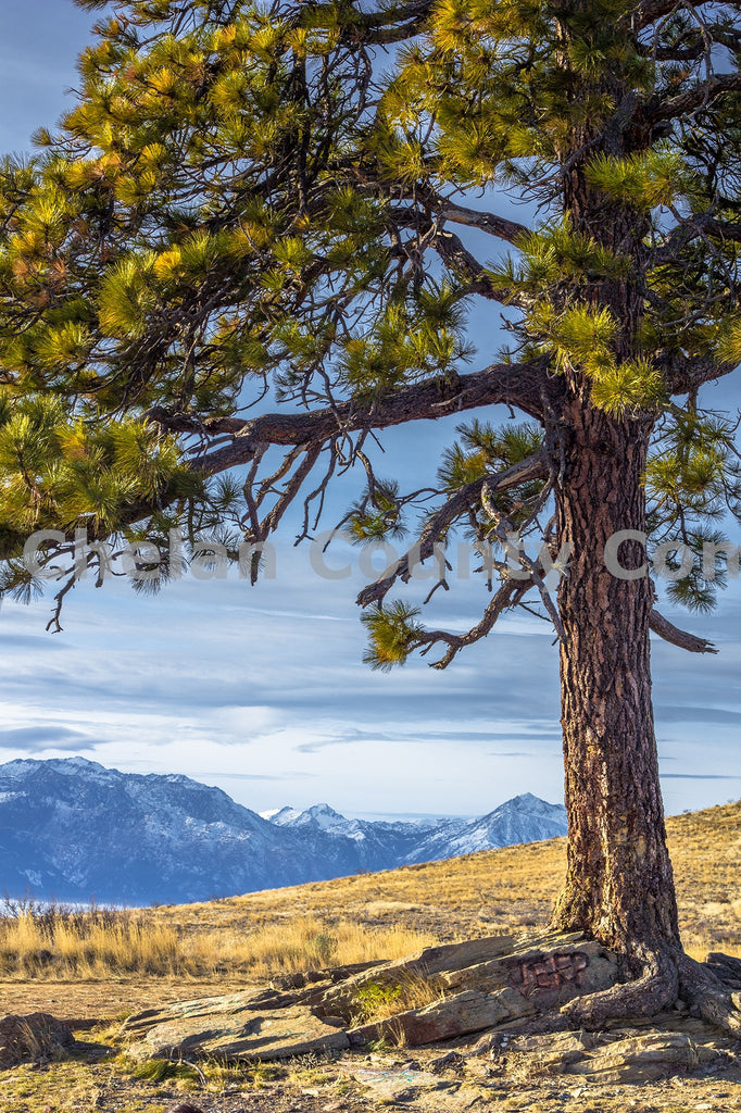Burch Mt. Tree , JPG Image Download - Josh Cadd, Chelan County Commons