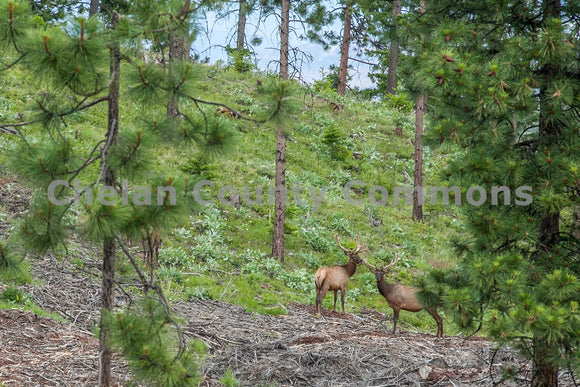Elk Facing Off , JPG Image Download - Travis Knoop, Chelan County Commons