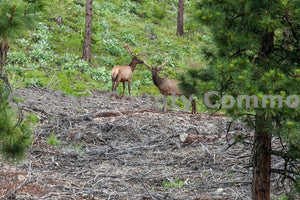 Elk Spotted Camera , JPG Image Download - Travis Knoop, Chelan County Commons