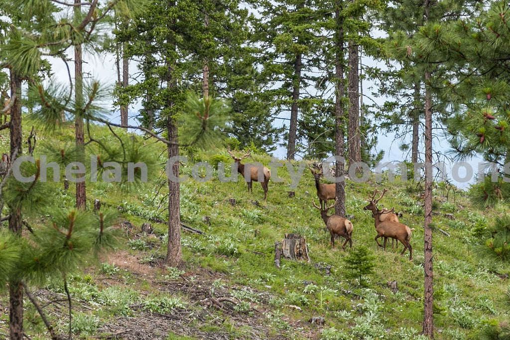 Elk Grazing Hillside , JPG Image Download - Travis Knoop, Chelan County Commons