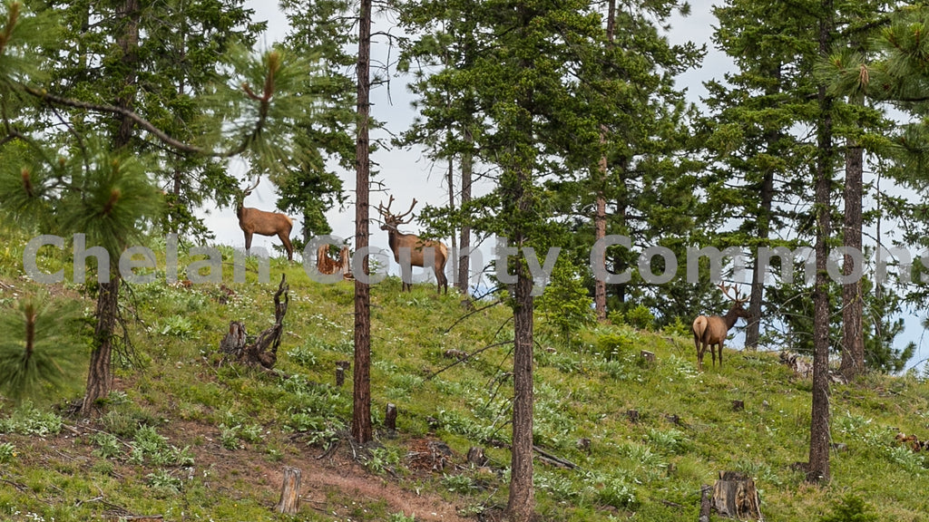 Elk Lining The Ridge , JPG Image Download - Travis Knoop, Chelan County Commons
