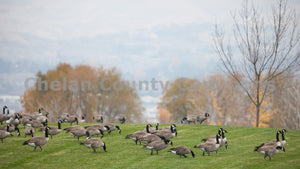 Loop Trail Geese , JPG Image Download - Travis Knoop, Chelan County Commons