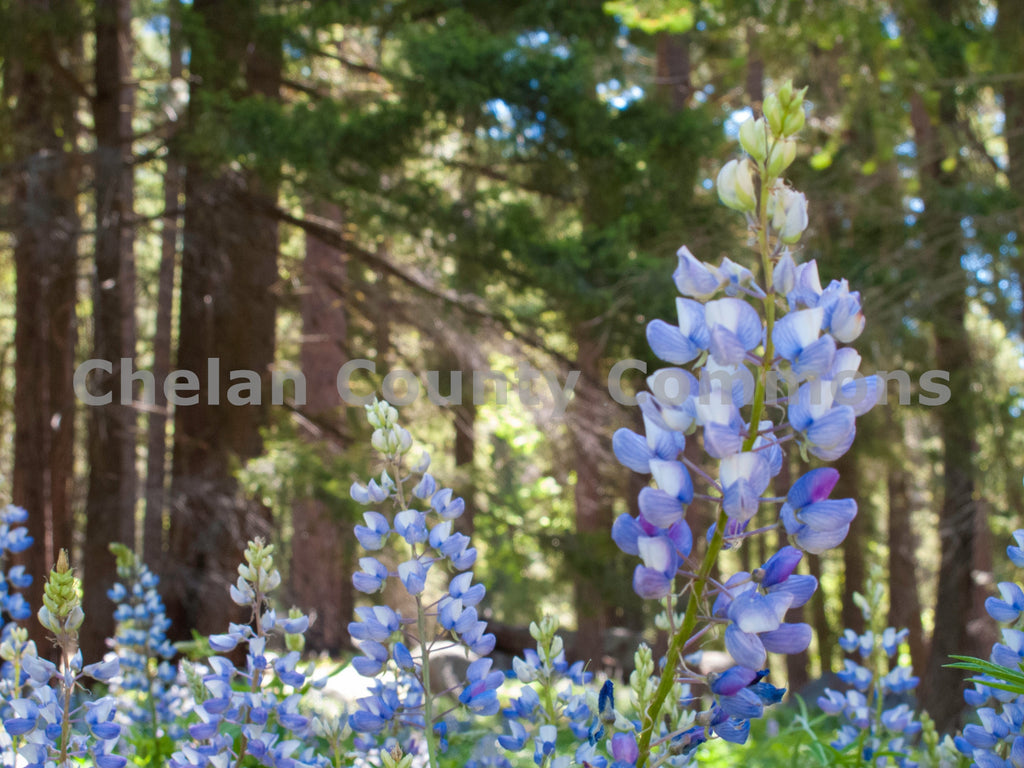 Lupin Wildflower , JPG Image Download - Stephen Hufman, Chelan County Commons