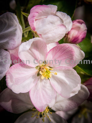 Close up of Cherry Blossom , JPG Image Download - Randy Dawson, Chelan County Commons
