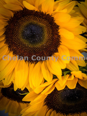 Sunflowers at Wenatchee Farmers Market , JPG Image Download - Randy Dawson, Chelan County Commons