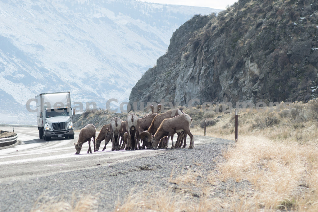 Entiat Sheep , JPG Image Download - Rob Spradlin, Chelan County Commons