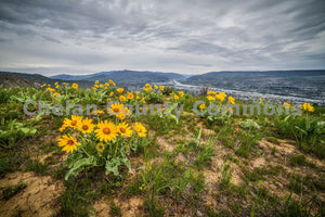 Wenatchee Balsamroot , JPG Image Download - Brian Mitchell, Chelan County Commons