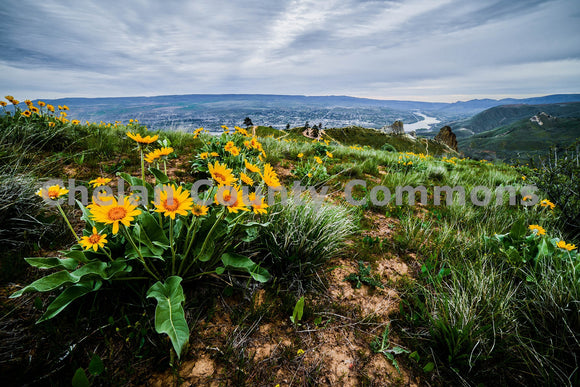 Saddlerock Balsamroot , JPG Image Download - Brian Mitchell, Chelan County Commons