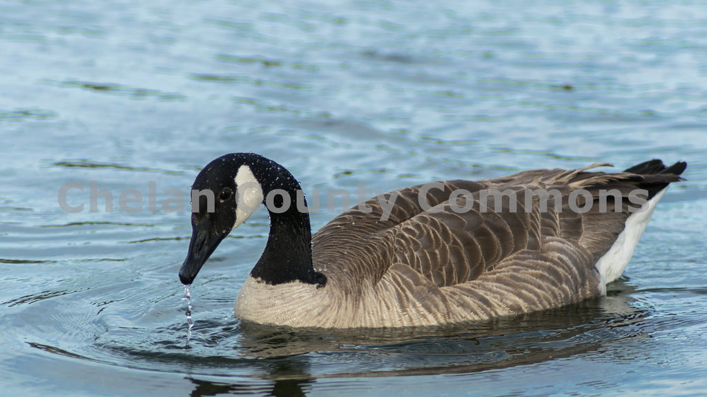 A Walla Walla Park Goose , JPG Image Download - Rob Spradlin, Chelan County Commons