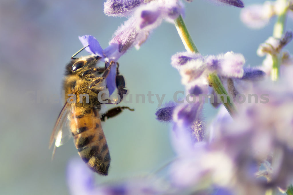 A Wenatchee Honey Bee , JPG Image Download - Rob Spradlin, Chelan County Commons