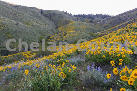 Wenatchee Wildflowers