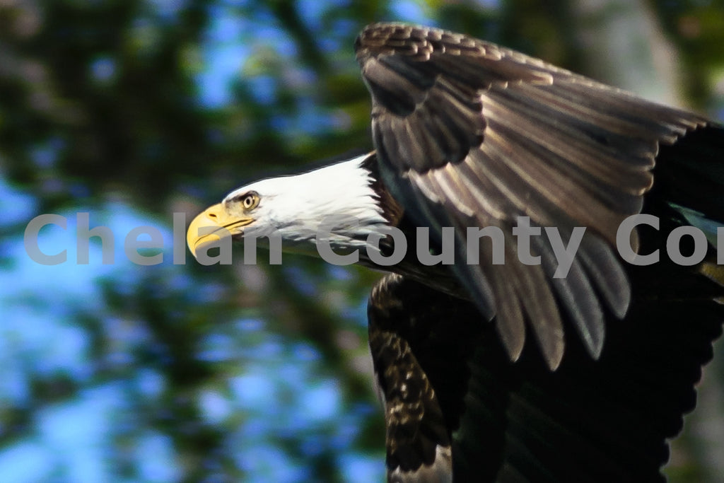 Soaring Bald Eagle , JPG Image Download - Rob Spradlin, Chelan County Commons