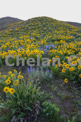 Wenatchee Wildflower Hillside