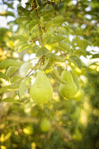 A Pear in an Orchard