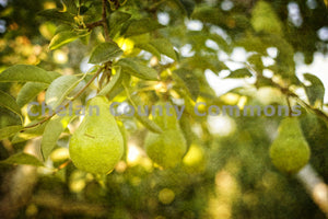 A Pear in an Orchard Horizontal , JPG Image Download - Heidi Swoboda, Chelan County Commons