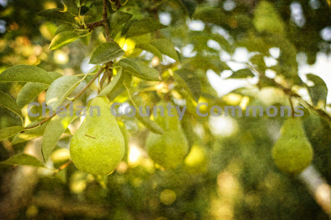 A Pear in an Orchard Horizontal