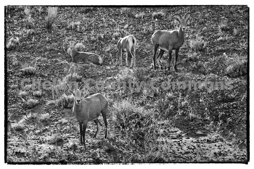 Big Horn Sheep-Lake Chelan , JPG Image Download - Heidi Swoboda, Chelan County Commons