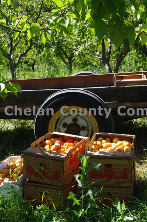 Boxes of Peaches , JPG Image Download - Steve Scott, Chelan County Commons