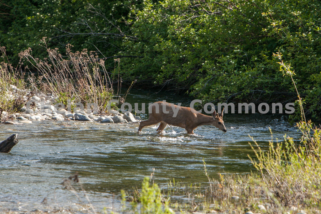 Deer Crossing Nason Creek , JPG Image Download - Travis Knoop, Chelan County Commons