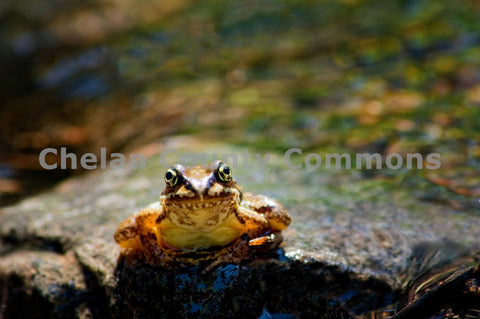 Frog Staring Into Lens