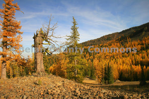 Larches At Mission Ridge , JPG Image Download - Travis Knoop, Chelan County Commons