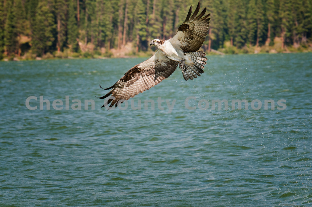 Osprey Circling Lake , JPG Image Download - Heidi Swoboda, Chelan County Commons