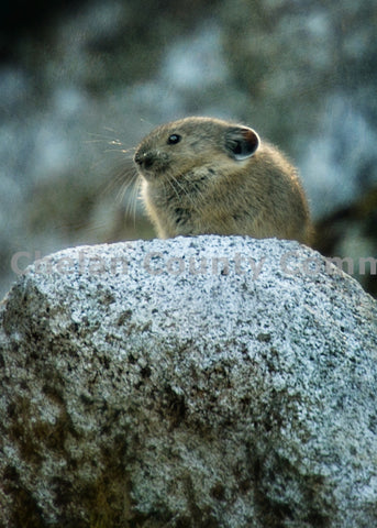 Pika Peers From Rocks