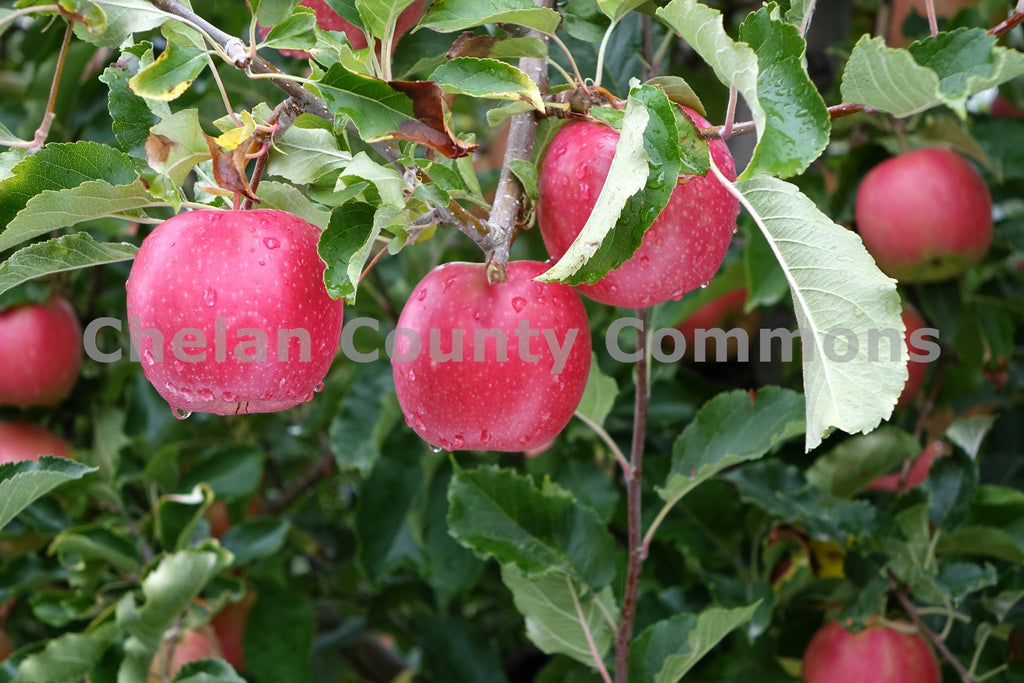 Pink Lady Apples Chelan , JPG Image Download - Richard Uhlhorn, Chelan County Commons