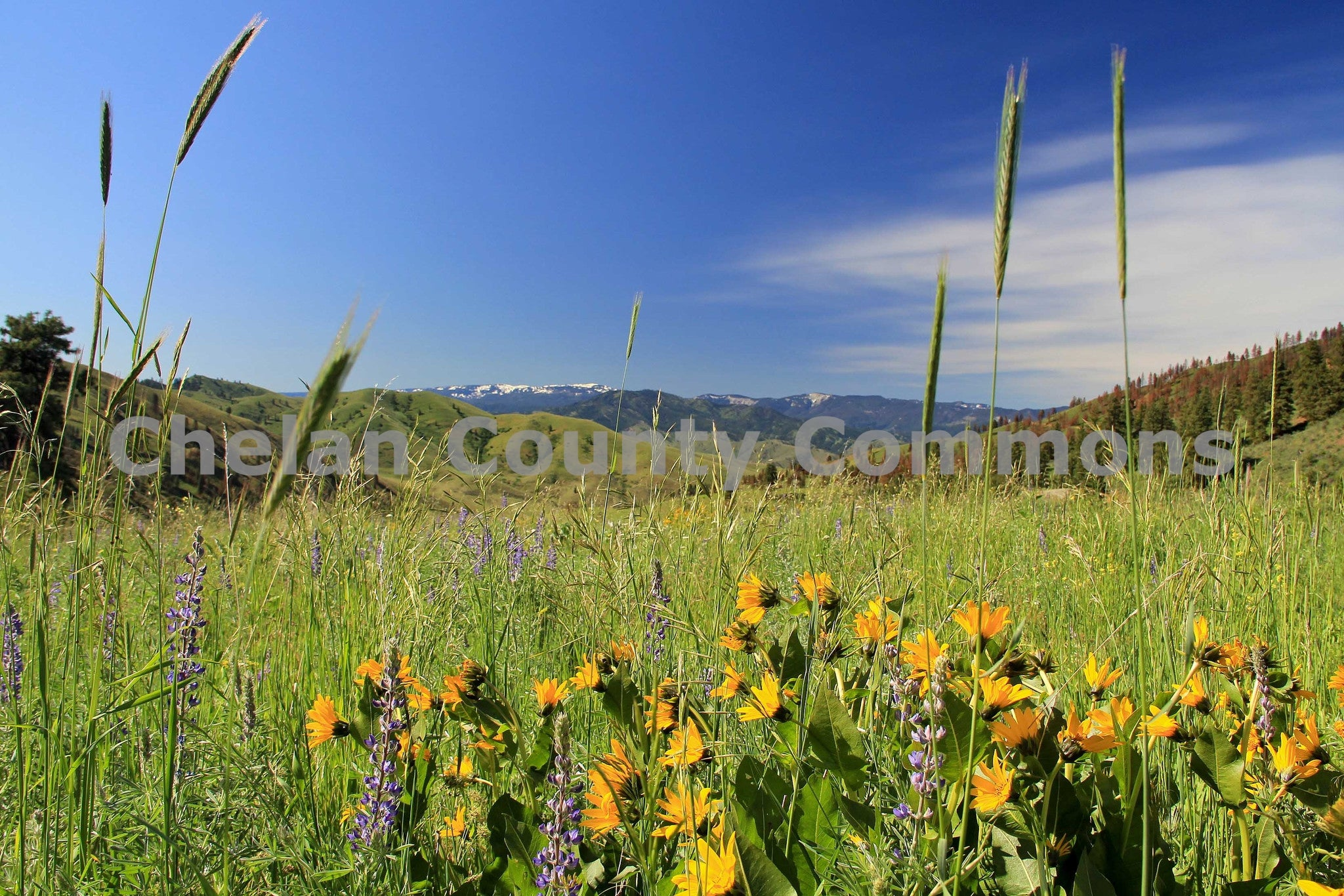 Spring Yellow Purple Mountain Flowers High Res Jpg Chelan