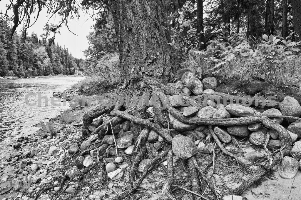 Black and White Tree Roots , JPG Image Download - Heidi Swoboda, Chelan County Commons