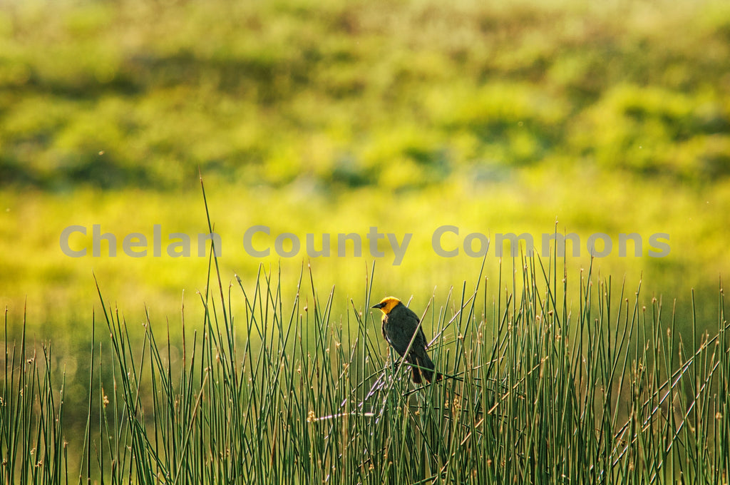 Bird Peers Over the Reeds , JPG Image Download - Heidi Swoboda, Chelan County Commons
