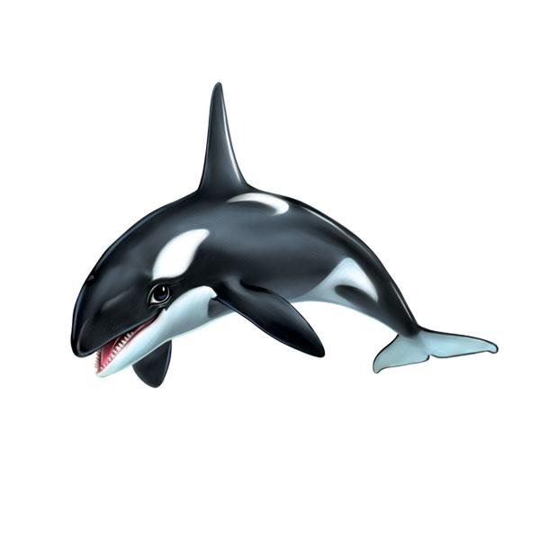 "Killer Whale 12"" Wall Slaps Decal"