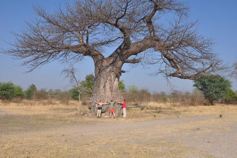Baobab Tree in Africa