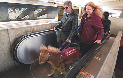 Miniature Guide Horse