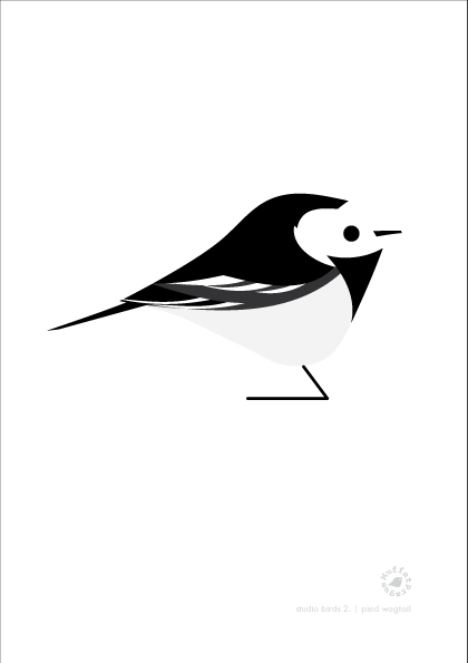 Pied Wagtail. Studio Birds | series 2.