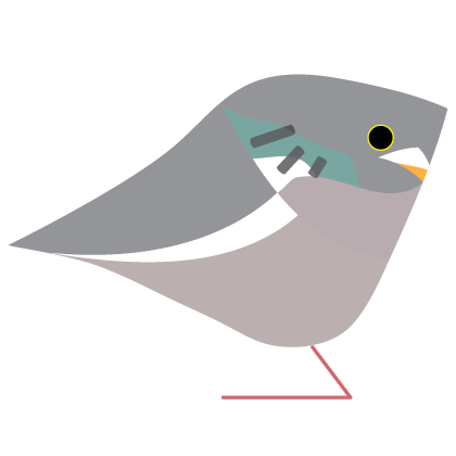 Wood Pigeon. Garden Birds | series 1.