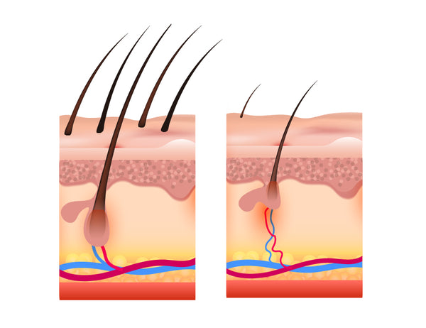 How long until a hair follicle becomes dormant?