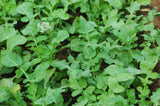 Arugula or Rocket/Roquette Seeds - OG - The Seed Store - 1