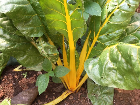 Swiss Chard Rainbow Seeds - OG - The Seed Store - 1