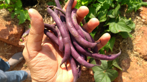 Beans Purple Pod Seeds - OG