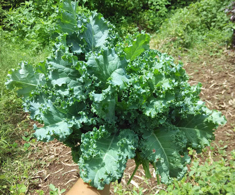Kale Blue Curled Seeds