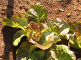 Lettuce Marvel of Four Seasons Seeds - OG - The Seed Store - 1