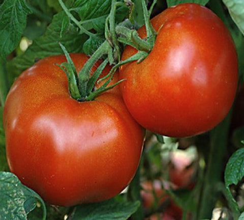 Tomato Rutgers VF Seeds - The Seed Store