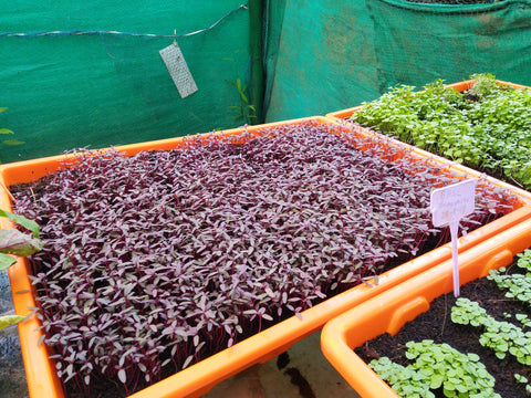 Amaranth Red - Microgreens Seed Pack