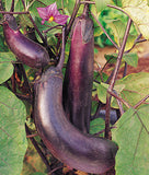 Brinjal Long Purple Seeds