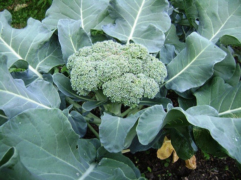 Broccoli Calabrese Early Seeds - The Seed Store